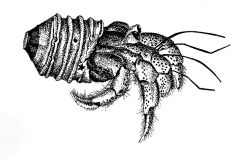 BW_Study_CrabLightBulb