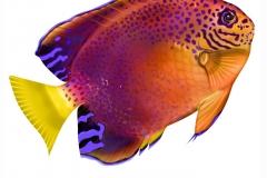 Fishers_Angelfish